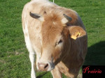 Prairie - Cow