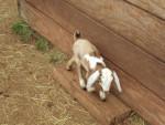 Piebald - Goat (1 month)