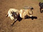 Winter & Bryanna - Goat