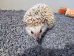Martin - Male Hedgehog (10 months)