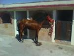 pecher - Male Horse (11 months)