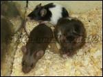 Drei bezaubernde Farbmäuse - Mouse