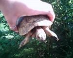 Cash - Male Turtle